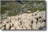 Pecore'